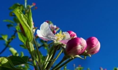 fleur naissante de pommier