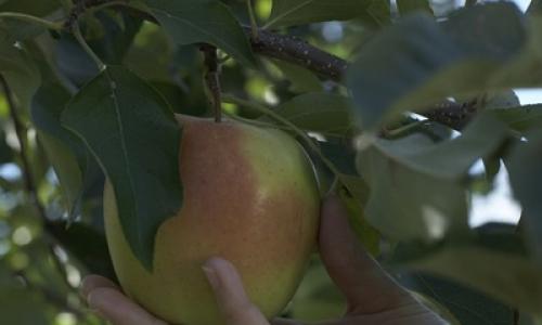Pomme golden du Limousin face rosée